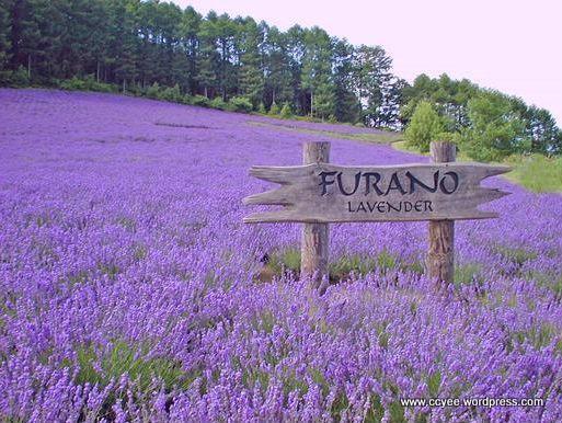 Lavender Field In Furano